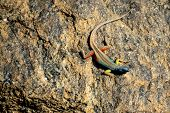 large multi-colored lizard sitting on a stone poster