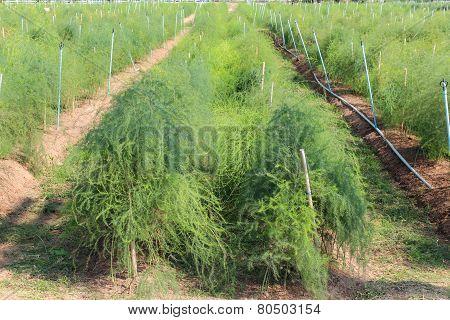 Asparagus On Ground In Garden.