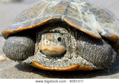 Diamond back terrapin turtle