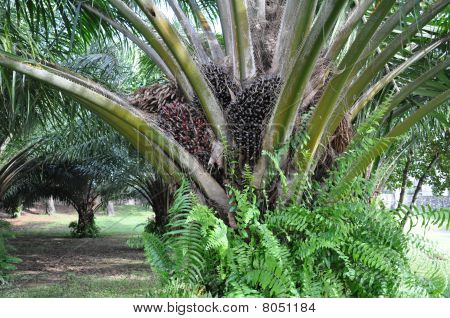 Palm oil tree close up with fruits