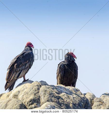 Turkey vultures, Mollendo, Peru