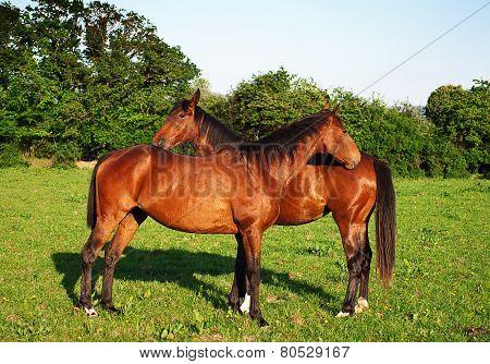 Horses on the beautifull green field