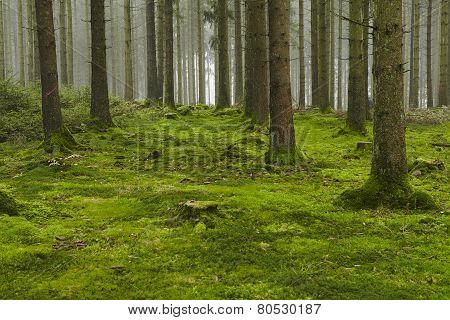A forest with trees stubs and a moss-covered forest floor taken at diffused light. poster