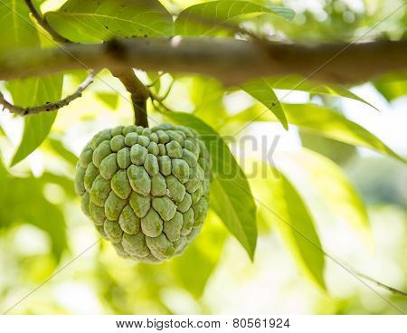 Sugar Apple Or Anon Fruit Hanging On Tree
