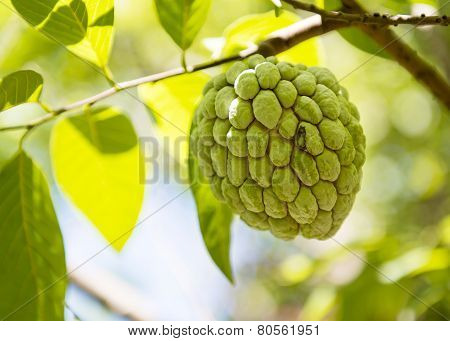 Sugar Apple Or Anon Hanging On Tree