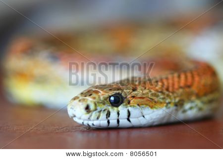 An Orange Corn Snake Slithers Over Leather