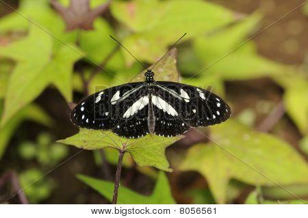 Amazon Schmetterling