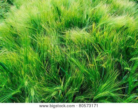 Barley Awns