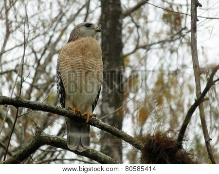 Red Shouldered Hawk at Six Mile Cypress Slough Preserve Fort Myers Florida poster