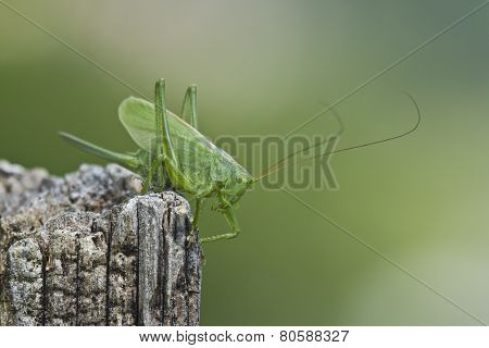 Great Green Grasshopper, France