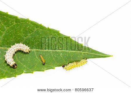 Generation Caterpillar Of Eri Silk Moth On Leaf