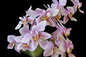 Orchid Phalenopsis Mini White Pink Color Isolated On Black Background poster