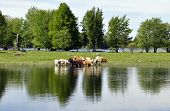 A landscape of calm lake reflection and cows poster