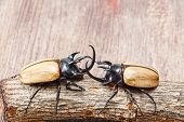 Close up yellow five horned beetle with small log on wooden table poster