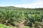 Young palm oil estate in blue sky. poster