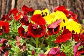 Yellow and red Pansy (Viola tricolor) flower in flowerbed poster