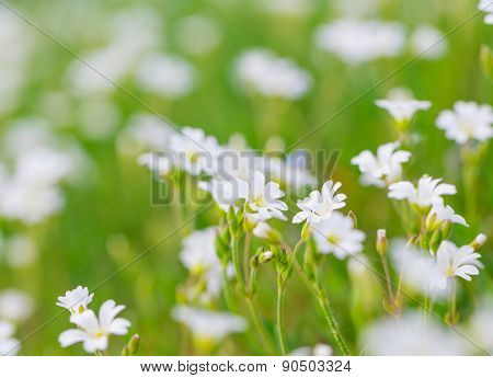 Blooming White Flowers Of Chickweed
