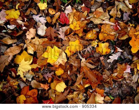 Great Leaves Colors At The Fall