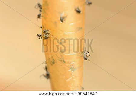 Big Flies On Sticky Tape