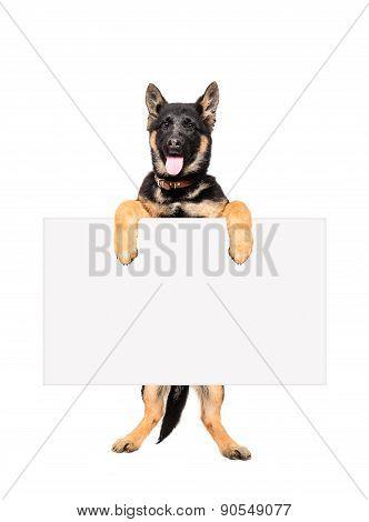 Puppy German Shepherd holding a banner