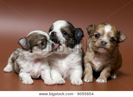 puppies of the spitz-dog in studio