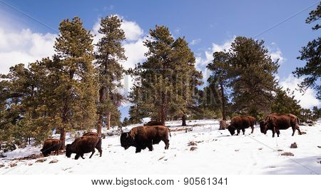 North American Bison Buffalo Roam Hillside Fresh Snow Blue Sky