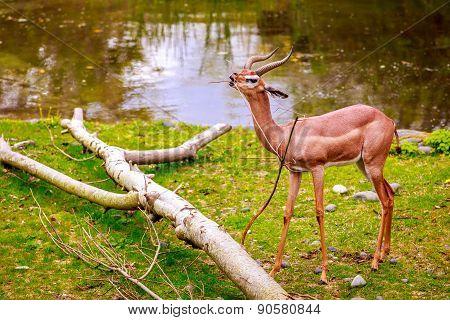 Speke's Gazelle Feed On Tree Branch