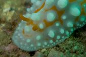 Underwater photography of a nudibranch in ocean poster