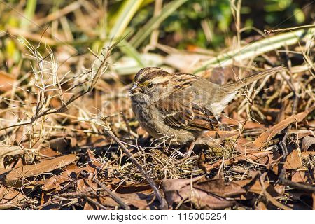 White-throated Sparrow  (zonotrichia Albicollis) With Seed