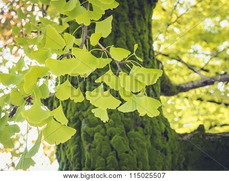 Gingko Green Leafs branch On Tree Outdoor Nature Seasonal