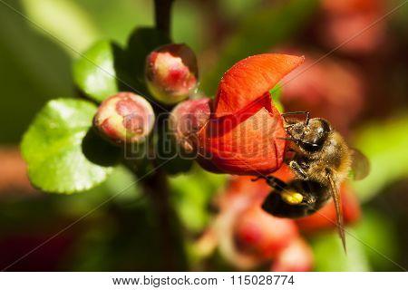 honeybee on japanese quince