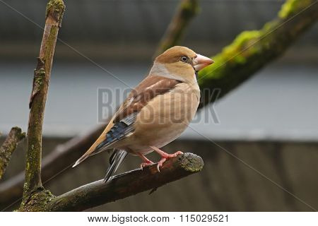 Hawfinch bird ( Coccothraustes coccothraustes ) perching on a branch with green moss