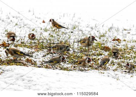 A group of European goldfinch (Carduelis carduelis) eating sunflower seeds on the ground during winter in Europe