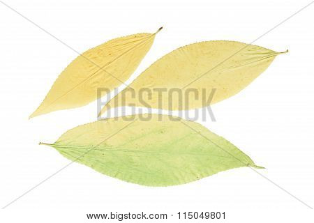 Pressed And Dried Leaves Euonymous, Isolated On White Background.