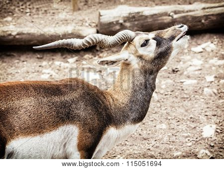 Blackbuck Portrait (antilope Cervicapra), Animal Scene