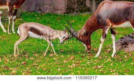 Speke Gazelle Headbutt With Bontebok Antelope