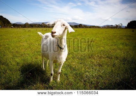 Solo Goat in A Field