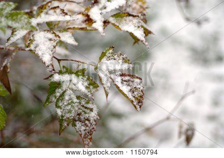 Snow On Salmonberry Leaves