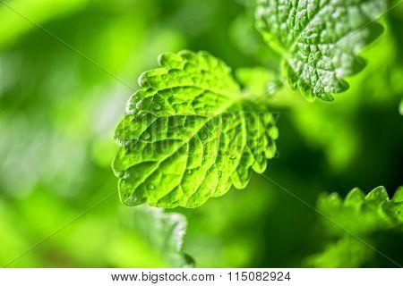 Green fresh melissa officinalis
