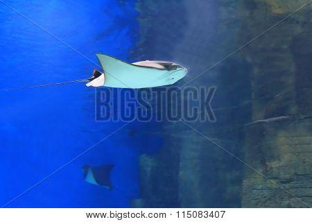 Ray fish underwater