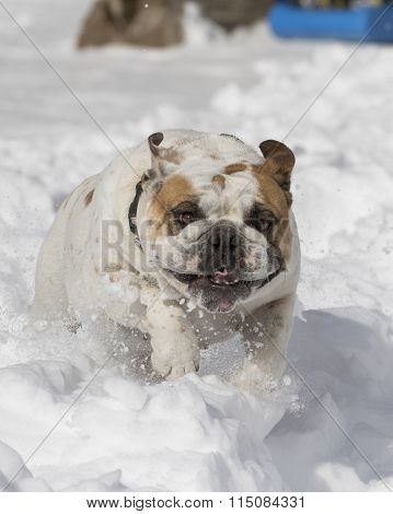 Close up of a bulldog in the snow