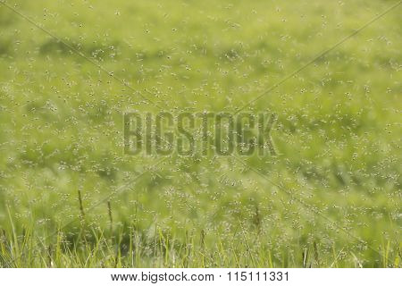Swarms Of Mosquitoes Over A Grass Field.