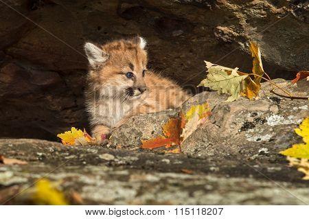 Female Cougar Kitten (puma Concolor) In Den