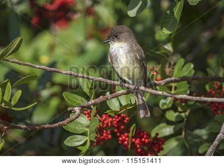 Eastern Phoebe Perched In A Brazilian Pepper Tree