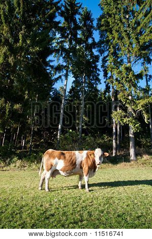 Cow and Conifers