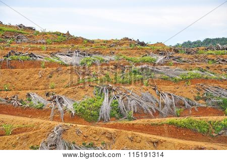 Deforestation And Replanting Of Young Oil Palm Tree