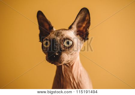 Portrait Of Hairless Sphynx Or Sphinx Baby Cat Kitten