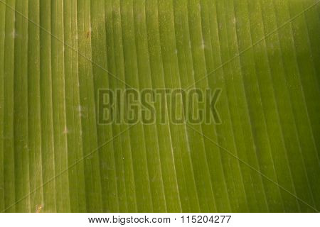Closeup Of The Green Babana Leaf Texture