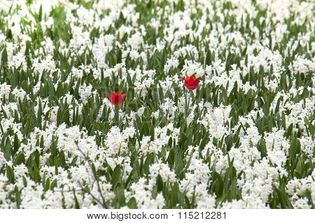 Two Red Tulips In White Field Of Hyacints