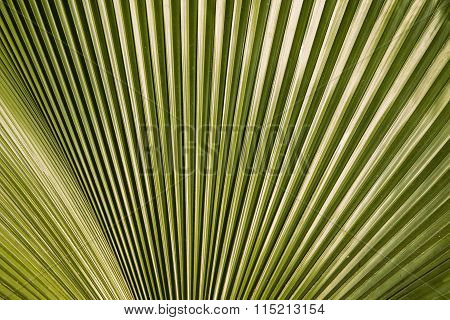 Closeup Of The Texture And Pattern Of The Palm Leaf 1